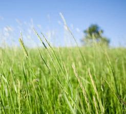 oregon ryegrass Rye Grass Seed Orders