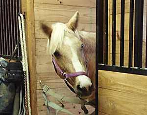palomino looking out 300x236 Senior Horse Care Checklist