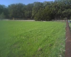 ryegrass pasture 300x240 Overseeding with Ryegrass
